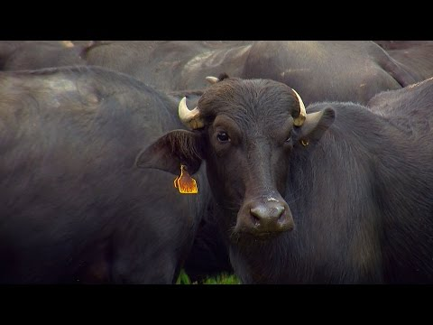 Raising and Breeding Water Buffalo in Colombia - TvAgro por Juan Gonzalo Angel