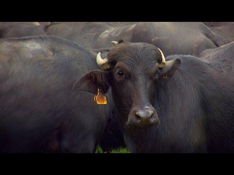 Raising and Breeding Water Buffalo in Colombia – TvAgro por Juan Gonzalo Angel