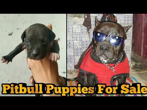 Am Pitbull Puppies For Sale || American Pitbull Dogs || Pitbull Fighting || Sahil Berwer ||