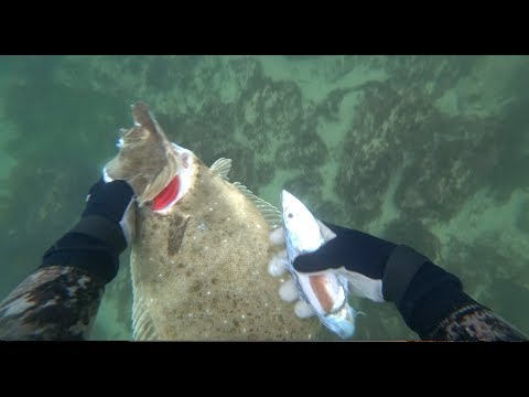 Spearfishing California Halibut 2019