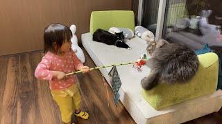 隙を見て娘の物を狙う猫 ノルウェージャンフォレストキャットとラガマフィン A cat looking at a gap and aiming for her daughter's thing.