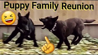 Puppy Play Date - Family Reunion - Lycan Shepherd Project Puppy Update