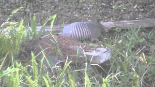 Armadillo Building Her Nest.mp4
