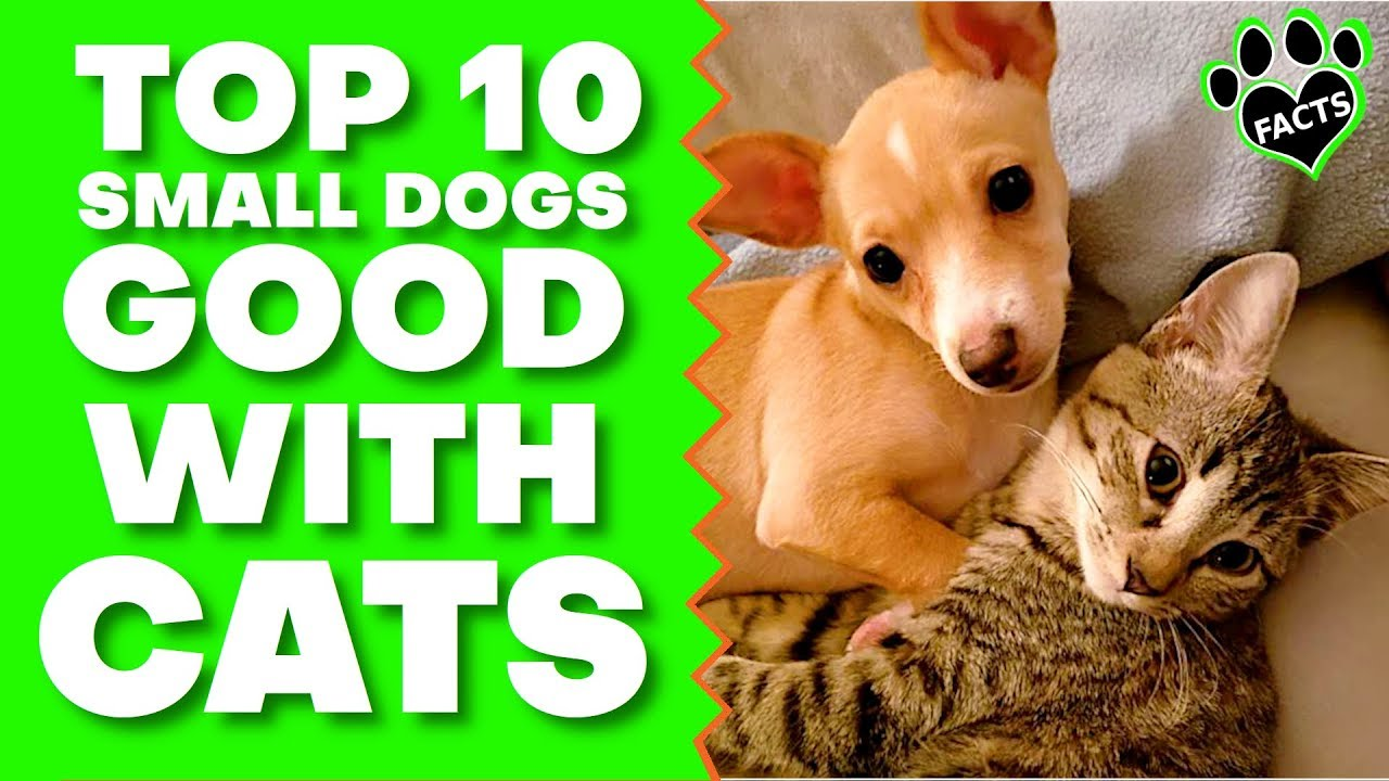 Top 10 Best Small Dog Breeds For Families With Cats