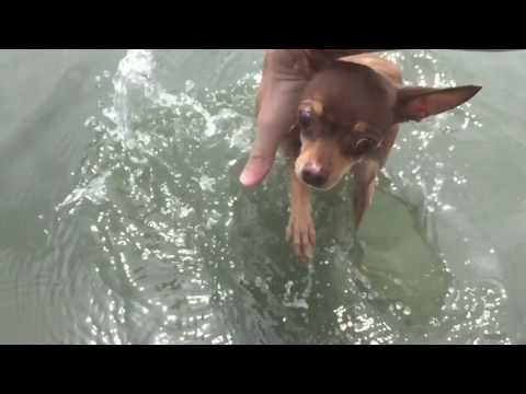 Slow-motion swimming chihuahua dog