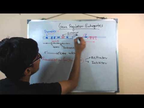 Gene regulation in eukaryotes