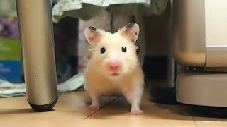 A short funny hamster's leg feet that tremble without reaching!