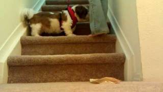 Shih Tzu Stair Training - Piner Harness