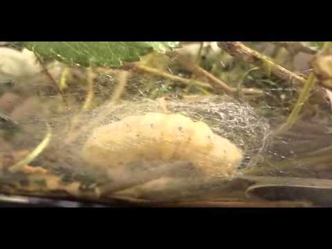 Silkworm Life Cycle (Silent Video)