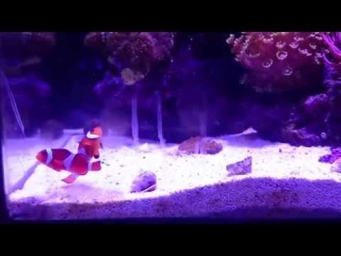 Clownfish Strange Behaviour. Mating, Pairing Or Fighting