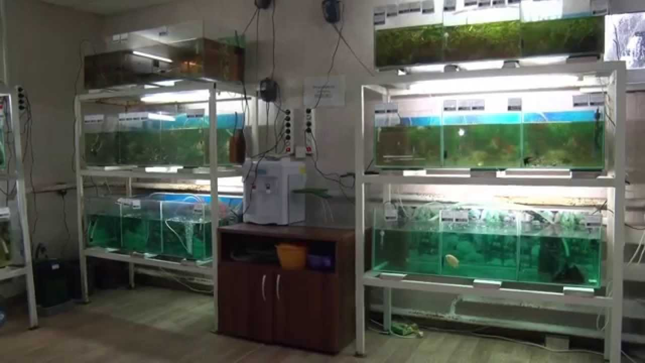 Разведение Аквариумных Рыбок В Домашних Условиях Видео