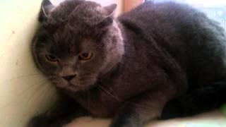 злой британский кот