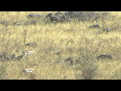 Four Gazelles in the wilderness of the Golan Heights, Israel (not far Ramot and Sea of Galilee)