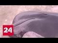 В Новой Зеландии еще 200 дельфинов-гринд выбросились на берег
