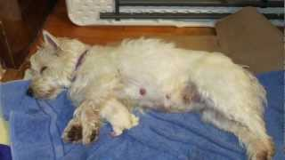 Westie Puppies From Birth To 8 Weeks