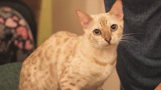 Бенгальская кошка. Лекция о породе