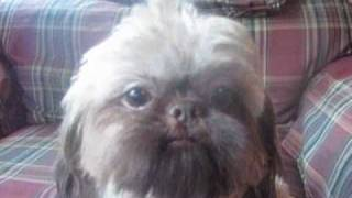 Shih Tzu Puppies Bred For Health,adorable Looks, Lots Of  Personality  Shih Tzu Daddy Coda