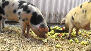 Gloucester Old Spot Pigs Eating Apples