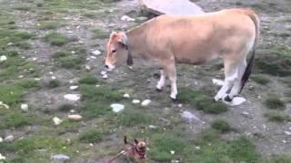 Chien vs vache
