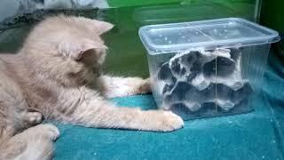 кошки наблюдают за живыми сверчками