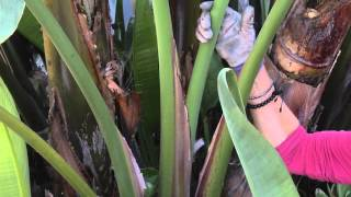 How to Prune a Bird of Paradise  : Great Gardening