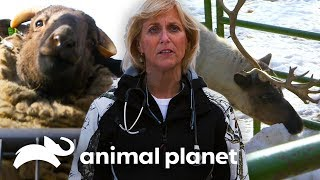 Animales de granja en Alaska | Dra. Dee: Veterinaria de Alaska | Animal Planet