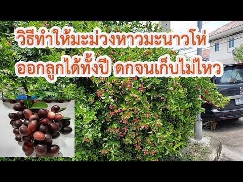 🔴วิธีทำให้ #มะม่วงหาวมะนาวโห่ลูกดก# #ออกลูกทั้งปี#  มะม่วงหาวมะนาวโห่ ผลไม้ในวรรณคดีนางสิบสอง