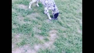Собака далматинец В Оше