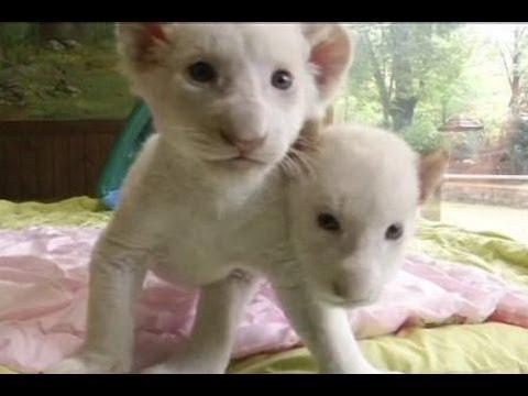 Anak Singa Putih Langka di Korea Selatan