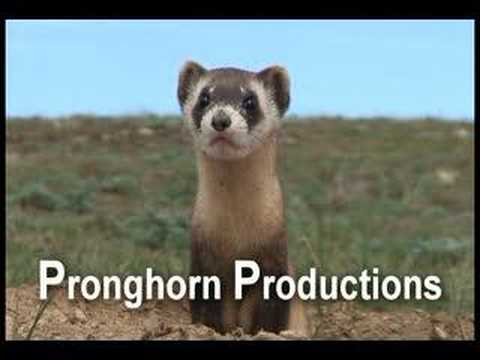 Black-footed Ferret in the Great Plains