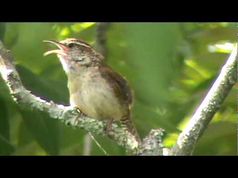 Carolina Wren singing its song and fluffing