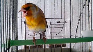 هجين طائر الحسون الرائع (البندوق)