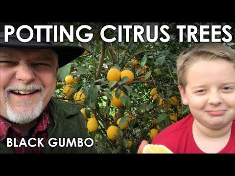 How To Pot Citrus Trees    Black Gumbo