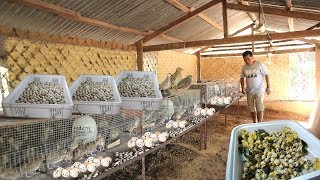 QUAIL FARMING -The secret on how to produce thousands of eggs everyday