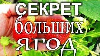 видео Выращивание вкусной и ароматной клубники у вас на подоконнике
