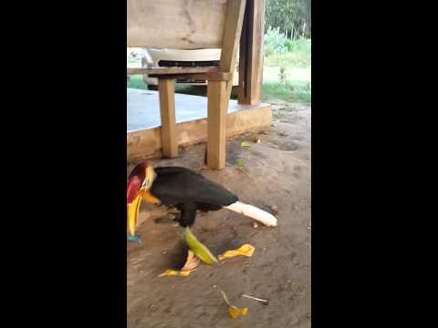 Burung Allo.....