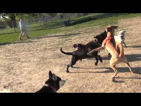 RAW!!!!!!! Yellow Lab Blue Healer Mix Fights Black Lab At Omaha Dog Park
