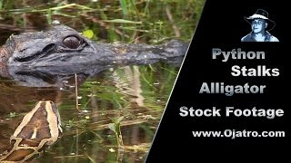 Python stalks Alligator 01 - Stock Footage