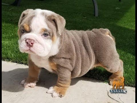 English Bulldog for sale, French Bulldog, Stud Services, AKC Puppies