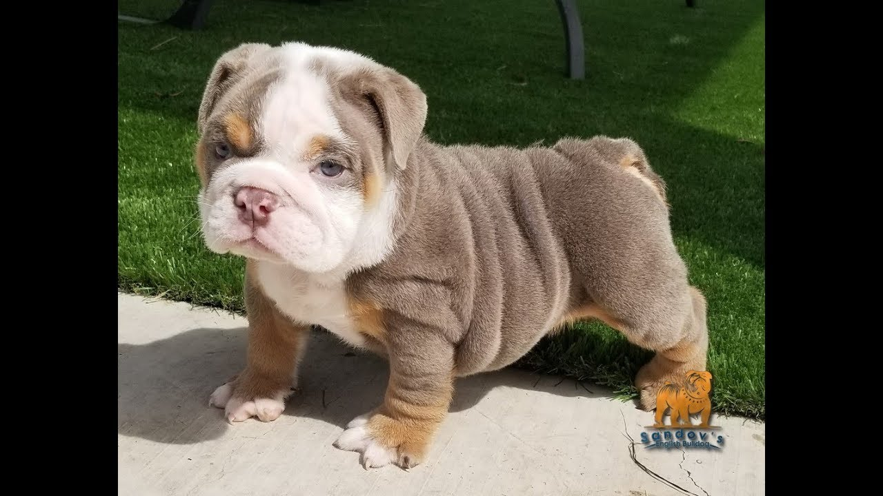 english bulldog for sale, french bulldog, stud services, akc puppies
