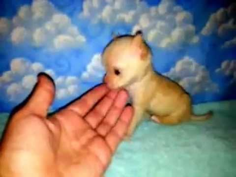 Smallest Micro Tiny Teacup Chihuahua For Sale Available and Ready NOW!