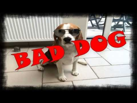 Bad Dog Crimes in 90 Seconds. This is one Bad Beagle