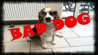 Bad Dog Crimes In 90 Seconds. This Is One Bad Beagle!