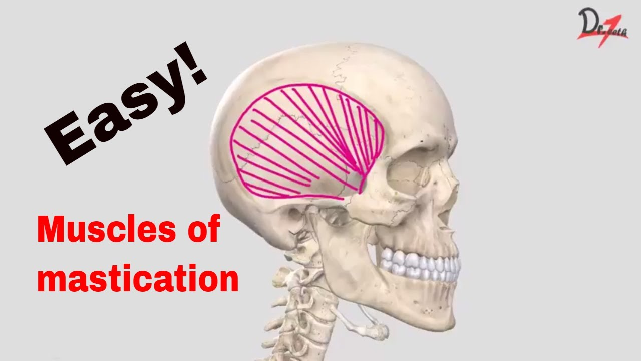 Muscles of mastication made easy! - YouTube