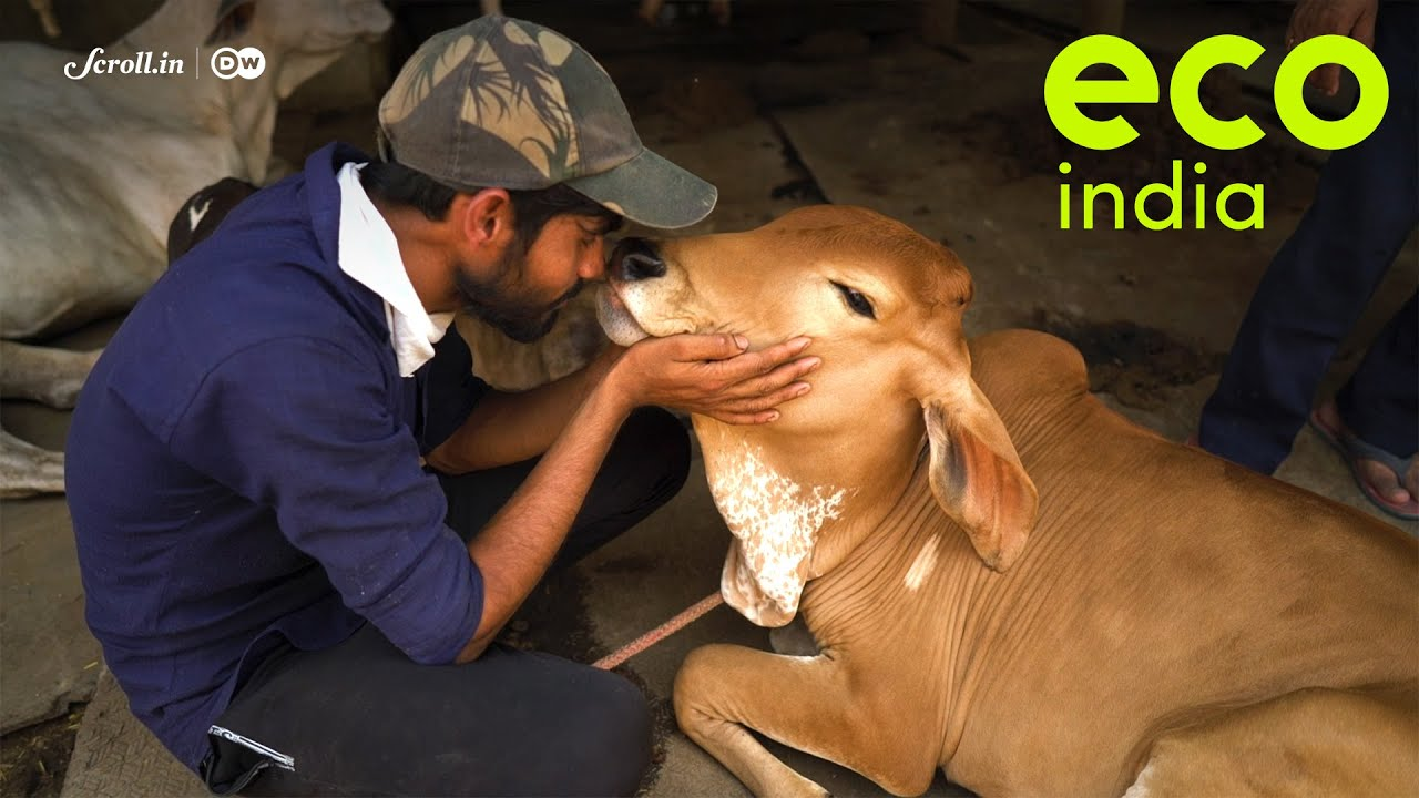 Eco India: The livestock farm that rears native Indian cow breeds but with a zero-dairy policy
