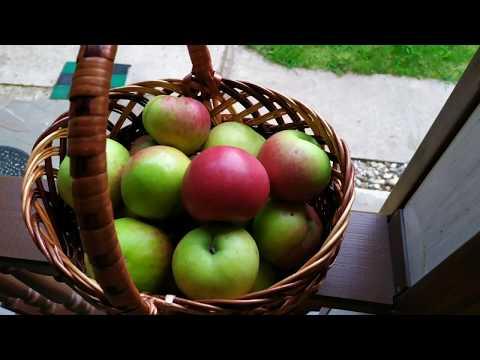 Какие сорта яблонь посадить