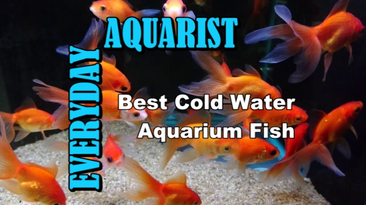 Fish for coldwater aquarium - Best Cold Water Temperate Freshwater Aquarium Fish
