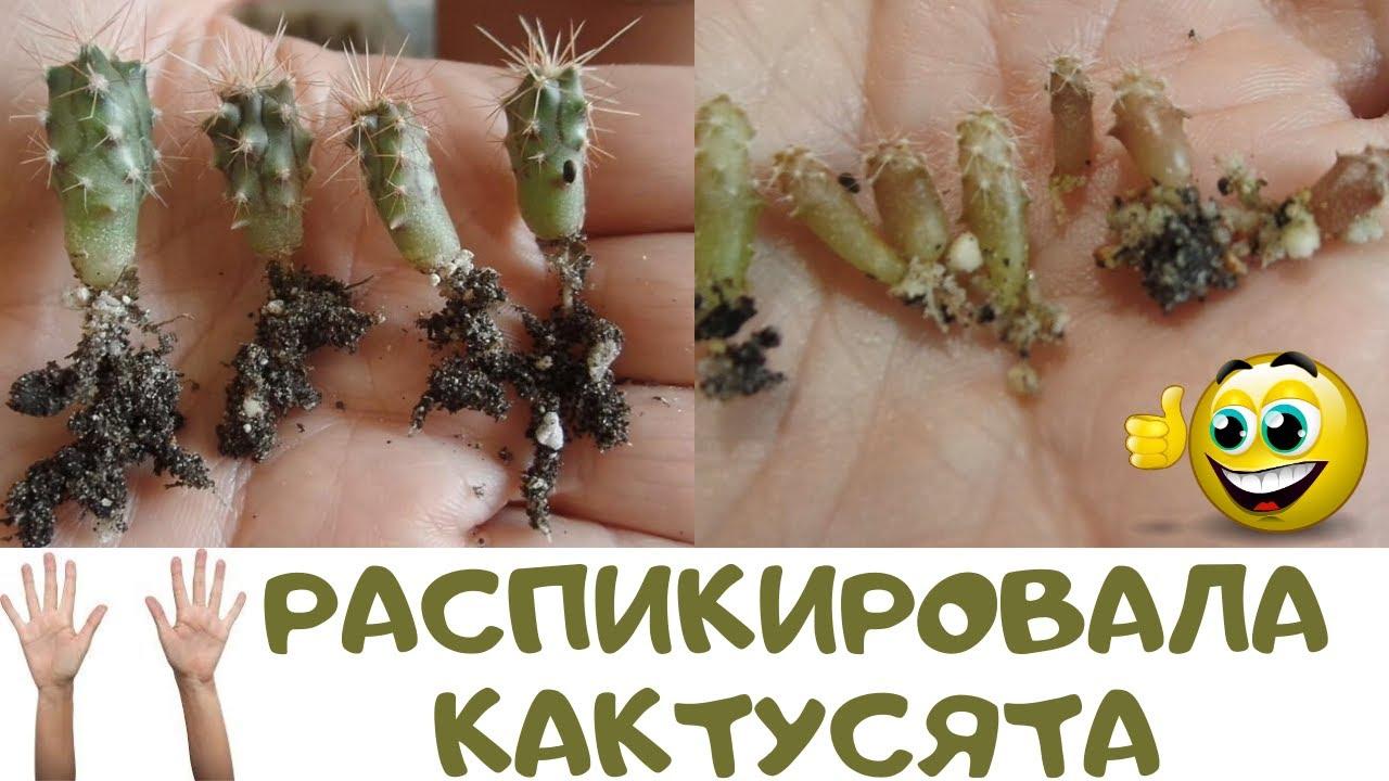 Просили показать сеянцы кактусов? Все без прикрас как есть. Распикировала и продолжаю растить дальше