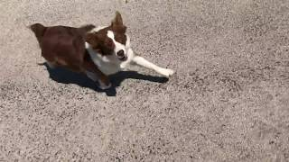 Video Why Does This Dog Chase Me? Because She Enjoys It download MP3, 3GP, MP4, WEBM, AVI, FLV Oktober 2018