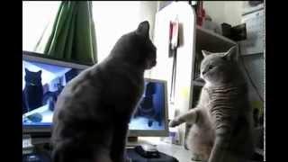 Gatos Dansons la capucine | Fandub